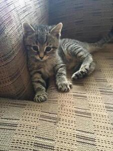"Baby Male Cat - Domestic Short Hair-Tabby - Brown: ""Kiwi"" Kawartha Lakes Peterborough Area image 2"