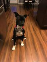 """Young Female Dog - Terrier-Pit Bull Terrier: """"Ali"""""""