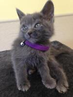 """Young Female Cat - Domestic Short Hair-gray: """"Becca"""""""
