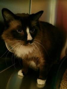 "Adult Male Cat - Domestic Long Hair: ""Trunks"""