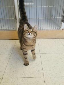 "Young Female Cat - Domestic Short Hair - brown: ""Dusty"""