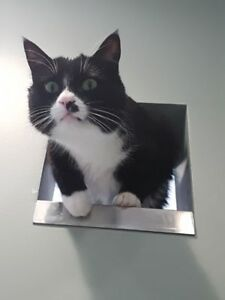 "Adult Male Cat - Domestic Short Hair-Tuxedo: ""Marvin"""