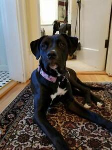 "Adult Female Dog - Pit Bull Terrier-Boxer: ""ANNIE"""