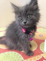"""Young Female Cat - Domestic Medium Hair - gray and white: """"Amy"""""""