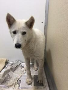 "Adult Female Dog - Husky-Shepherd: ""Sara"""
