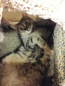 """Adult Female Cat - Tabby - Brown: """"Stella and Tumble"""" London Ontario image 2"""