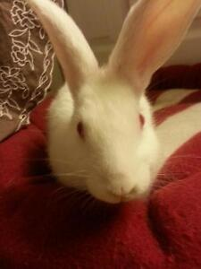 """Young Male Rabbit - New Zealand: """"Sam"""""""