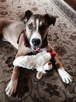 "Young Female Dog - Boxer-Husky: ""Macey"""