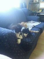 """Young Female Cat - Domestic Short Hair-black and white: """"Pepper"""""""