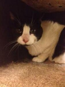 "Adult Male Cat - Domestic Short Hair: ""Patches"""