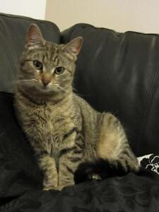 Adult Male  - Domestic Short Hair - brown London Ontario image 1