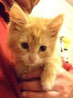 """Baby Male Cat - Domestic Medium Hair: """"Rai"""""""