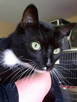 """Adult Male Cat - Domestic Short Hair-black and white: """"Mikey"""""""