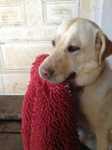 "Adult Female Dog - Labrador Retriever: ""Maizie"""