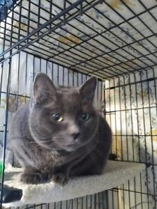 """Adult Female Cat - Domestic Short Hair-Russian Blue: """"Pewter"""""""