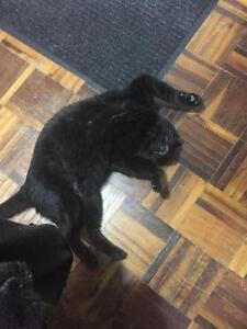 "Adult Male Cat - Domestic Short Hair-black: ""Christmas"" Cambridge Kitchener Area image 2"