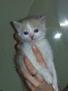 "Baby Male Cat - Domestic Medium Hair - buff and white: ""kittens"""