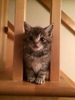 "Baby Female Cat - Domestic Short Hair: ""Nala"""