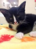 "Baby Male Cat - Domestic Short Hair-black and white: ""Berlioz"""