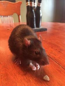"""Young Male Small & Furry - Rat: """"Rocket"""""""
