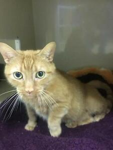 "Adult Male Cat - Domestic Short Hair-Tabby: ""Dorito"""