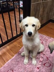 """Young Female Dog - Labrador Retriever-Great Pyrenees: """"Lacey"""""""