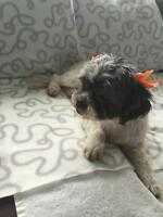 "Adult Female Dog - Shih Tzu: ""Missy"""