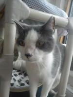 "Adult Male Cat - Domestic Short Hair: ""Snuggles"""