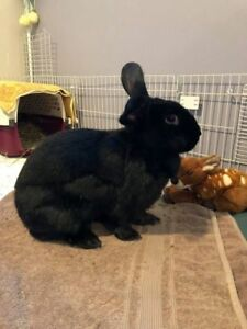 "Adult Female Rabbit - New Zealand: ""Freya"""