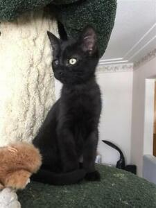 "Baby Male Cat - Domestic Short Hair: ""Saul"""