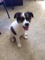 "Baby Female Dog - Border Collie: ""Jasmine - Adoption Pending"""