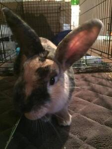 """Young Male Rabbit - American: """"Toby - Loves pats!"""""""