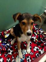 "Young Female Dog - Shepherd-Terrier: ""Cora"""