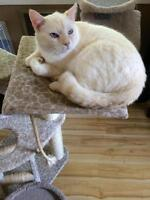 Adult Male  - Domestic Long Hair - buff and white-Siamese