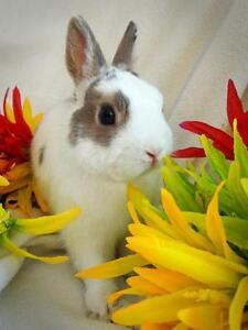 "Young Male Rabbit - Netherland Dwarf: ""Hopscotch"""