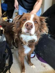 Senior Male  - Spaniel-Nova Scotia Duck-Tolling Retriever