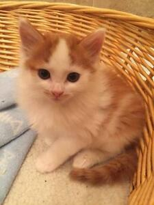 "Baby Male Cat - Domestic Short Hair (Orange & White): ""Loki"""