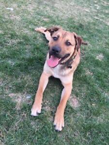 """Adult Male Dog - Pit Bull Terrier-Shepherd: """"RJ"""""""