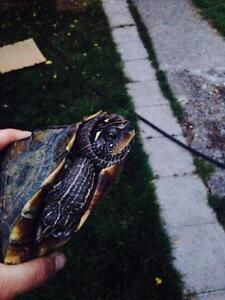 """Adult Female Scales, Fins & Other - Turtle: """"Olivia"""""""