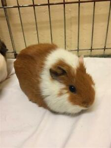 "Adult Female Small & Furry - Guinea Pig: ""Madison And Morgan"""