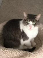 "Adult Female Cat - Domestic Short Hair: ""Madeline"""