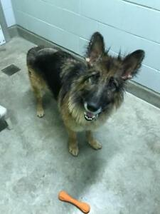 "Adult Male Dog - German Shepherd Dog: ""Hugo"""