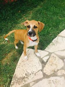 "Young Female Dog - Boxer: ""Sansa"""