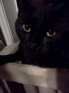 "Young Female Cat - Domestic Short Hair-black: ""Cinder"""