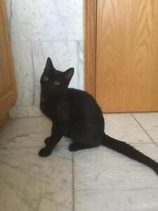 """Young Male Cat - Domestic Short Hair-black: """"Ebony"""" West Island Greater Montréal image 3"""