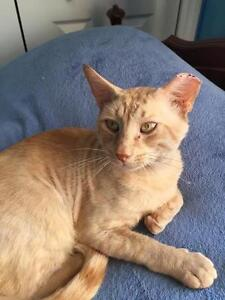 "Adult Male Cat - Domestic Short Hair-orange: ""Rusty"""