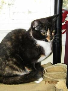 "Young Female Cat - Calico: ""Denise"""