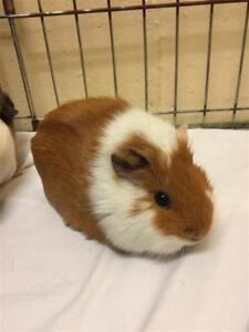 """Adult Female Small & Furry - Guinea Pig: """"Madison And Morgan"""""""
