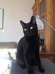 "Young Male Cat - Domestic Short Hair-black: ""Oscar"""