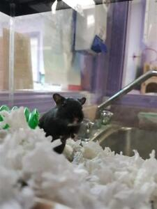 """Young Female Small & Furry - Gerbil: """"Billy"""""""